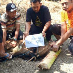 PAC GP Ansor Jambon bantu satu ekor kambing kepada GP Ansor Ranting Poko- Jambon.